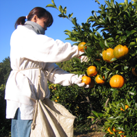 木成り熟成果物